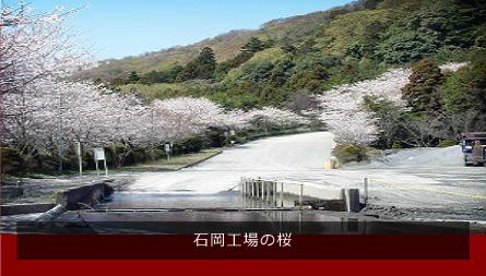 石岡工場の桜